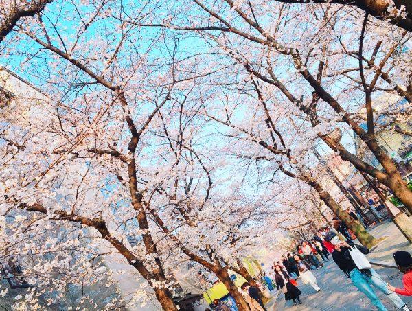 桜が咲いてきました🌸