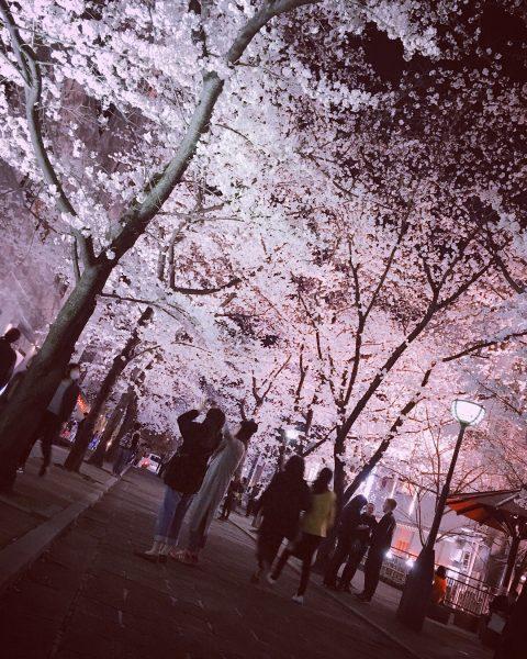 桜のライトアップ🌸✨
